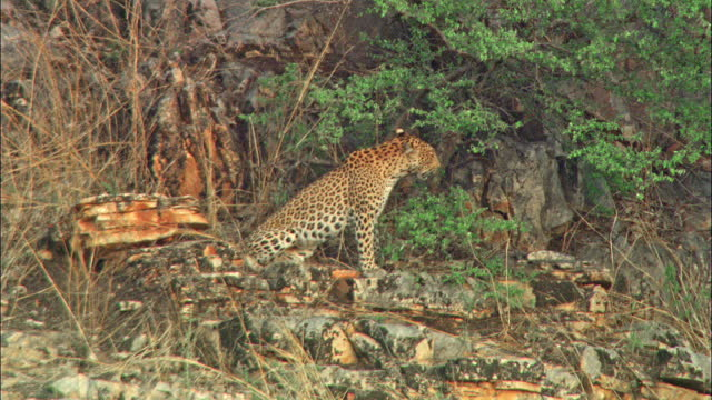 leopard sitting on the rock, suddenly gets alert, looking around - wide shot - wildlife reserve stock videos & royalty-free footage