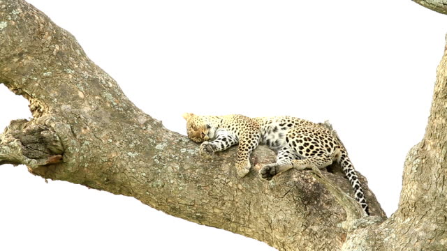 leopard sleeping - disguise stock videos & royalty-free footage