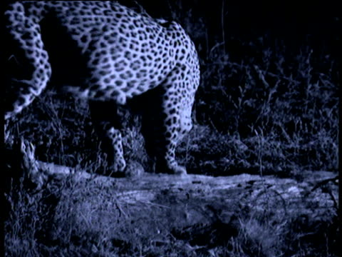 leopard sniffs ground at night, south luangwa national park, zambia - animal colour stock videos & royalty-free footage