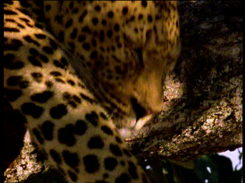 leopard snoozing in tree suddenly wakes up, south luangwa national park, zambia - zimbabwe stock videos and b-roll footage
