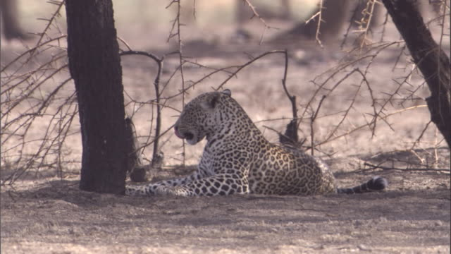 stockvideo's en b-roll-footage met a leopard sprawls out under a tree in the serengeti. available in hd. - achterover leunen