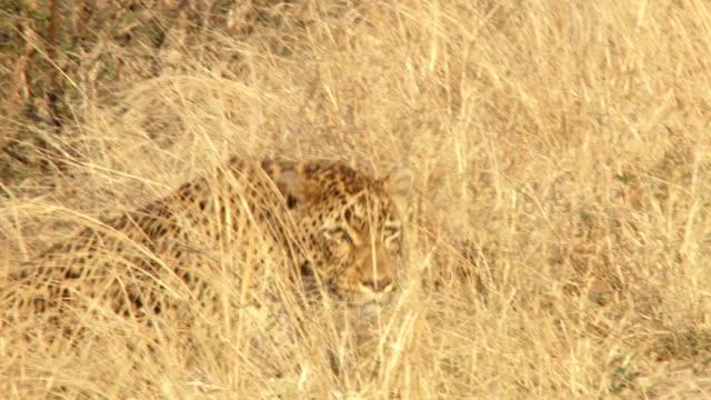 vídeos de stock, filmes e b-roll de leopard stalking in dry grass/ kruger national park/ south africa - espreitando