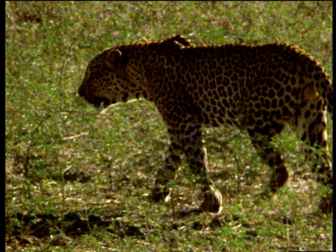 leopard stalks across savannah, south luangwa national park, zambia - animal markings stock videos & royalty-free footage