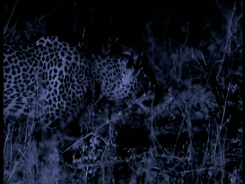 Leopard stalks, moth flutters and lands near leopard's eye, South Luangwa National Park, Zambia.