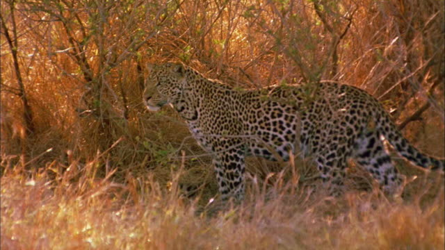 a leopard stalks through golden grass. - hunting stock videos & royalty-free footage