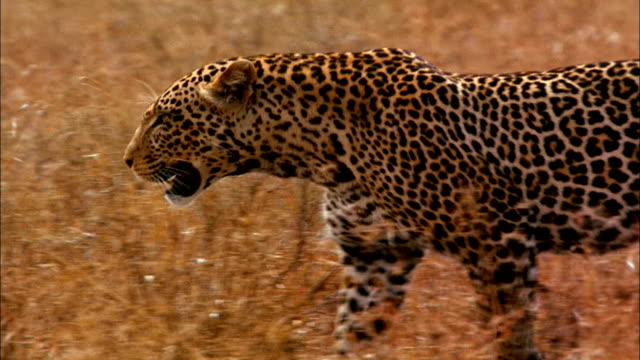 a leopard stalks through long, dry grass. - leopard stock videos & royalty-free footage