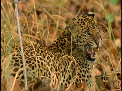 ms leopard (panthera pardus) standing in long grass, growling, bandhavgarh national park, madhya pradesh, india - carnivora stock videos and b-roll footage