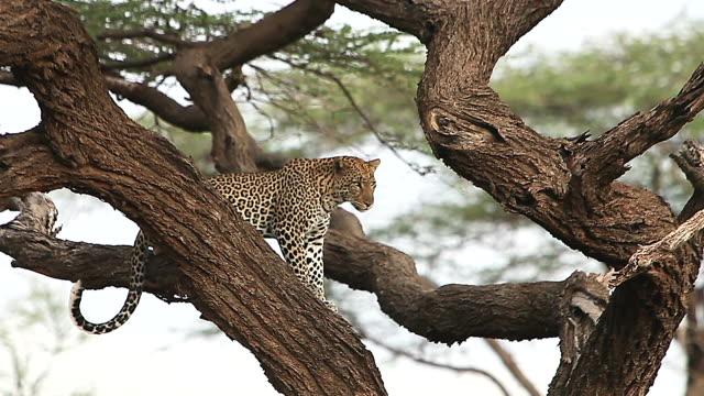 vidéos et rushes de ms leopard standing on tree / national park, africa, kenya - branche partie d'une plante