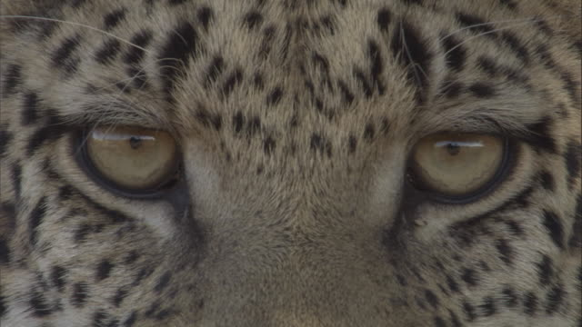 A leopard stares straight ahead.