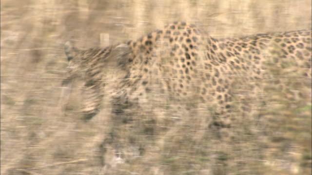 vídeos de stock, filmes e b-roll de a leopard strides through tall grass in botswana, africa. available in hd. - camuflagem