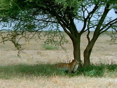 Leopard taking dead BatEared Fox up tree