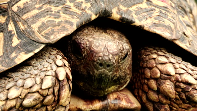 leopard tortoise(geochelone pardalis) with retracted head coming out of shell \n - tortoise shell stock videos & royalty-free footage