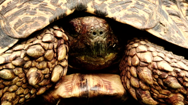leopard tortoise(geochelone pardalis) with retracted head coming out of shell \n - animal shell stock videos & royalty-free footage