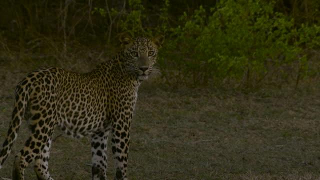 "leopard trotting, sri lanka. - ""bbc natural history"" stock videos & royalty-free footage"