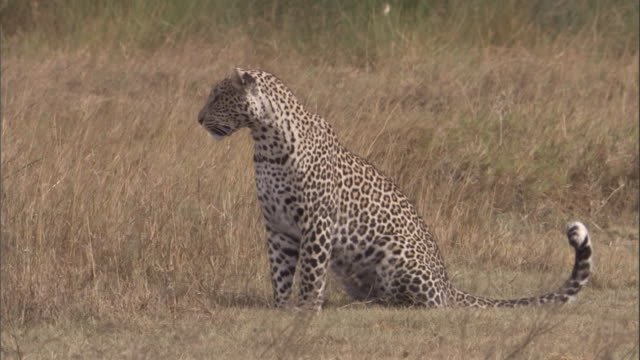 stockvideo's en b-roll-footage met a leopard twitches its tail on the savanna. available in hd. - staartjes