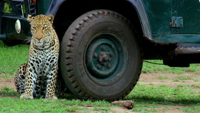 Leopard Under Safari Vehicle Maasai Mara, Kenya, Africa