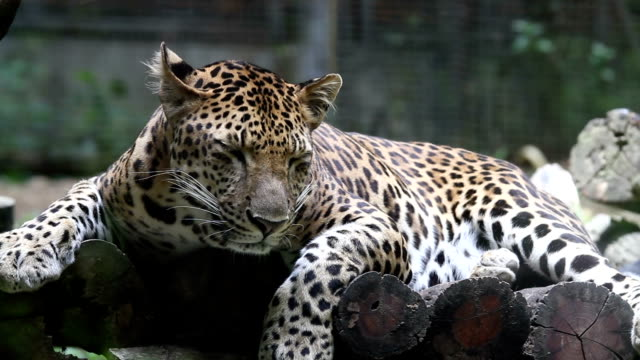 leopard. - aggression stock-videos und b-roll-filmmaterial