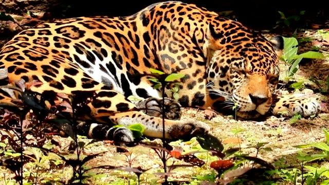 vidéos et rushes de léopard. - agression