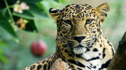 leopard - leopard stock videos & royalty-free footage