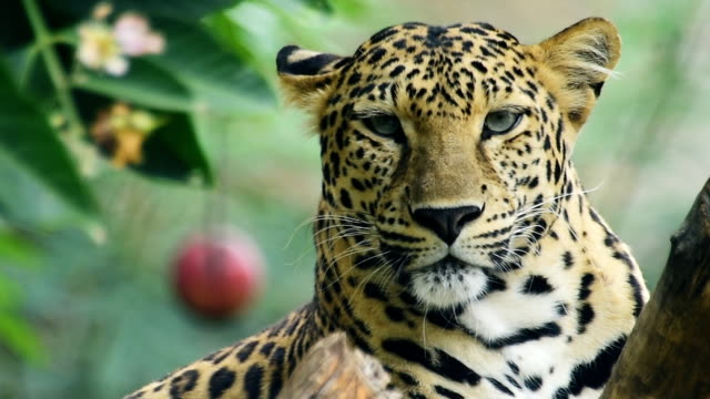 leopard - animals in the wild stock videos & royalty-free footage