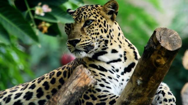 leopard - animal teeth stock videos & royalty-free footage