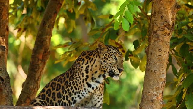 vídeos y material grabado en eventos de stock de leopard. - felino grande