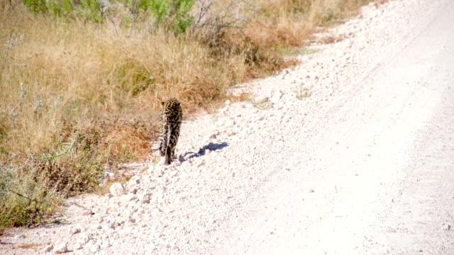 LS Leopard Walking Along Dirt Road