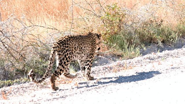 vídeos y material grabado en eventos de stock de lento missouri ls leopard caminando por la calle - área silvestre