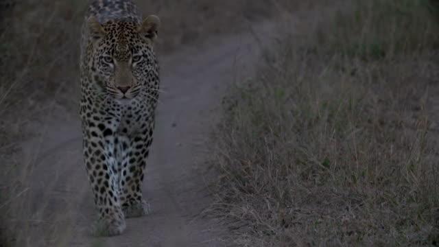 Leopard walking down road towards camera/ Kruger National Park/ South Africa