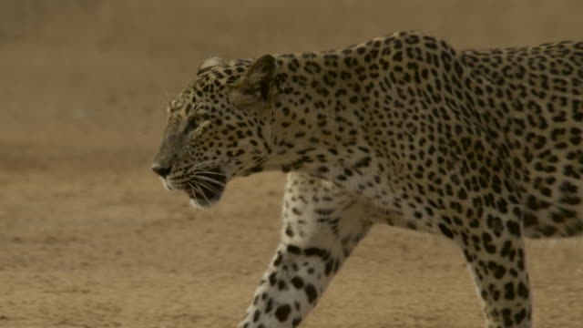 "leopard walking, sri lanka. - ""bbc natural history"" stock videos & royalty-free footage"