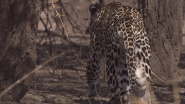 a leopard walks in the shade of trees on a dry savanna. available in hd. - shade stock videos & royalty-free footage