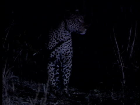 leopard walks towards camera, stops, looks left and right, calls (mating call). south luangwa national park, zambia. - animal markings stock videos & royalty-free footage