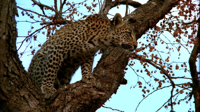 A leopard watches intently from its vantage point in a tree. Available in HD.