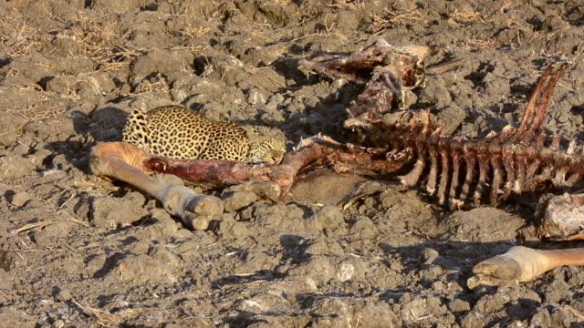 Leopard with a Thornicroft giraffe carcass