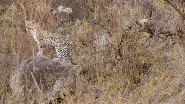 leopard with cub in Serengeti National Park