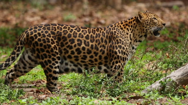 Leopards are graceful and powerful big cats.