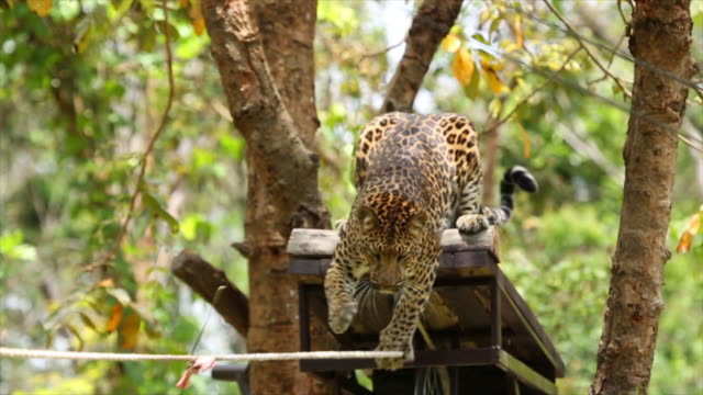 leopards are graceful and powerful big cats. - caccia sport con animali video stock e b–roll