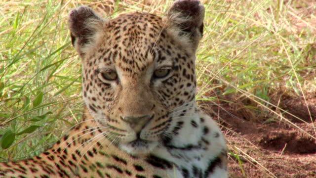 vídeos de stock, filmes e b-roll de cu of leopards face / kruger national park, mpumalanga, south africa - bigode de animal
