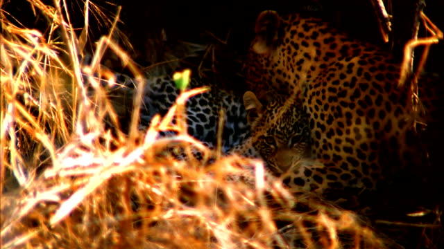 Leopards groom each other in a shady den. Available in HD.