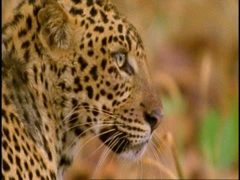 CU Leopards (Panthera pardus) head, staring, Bandhavgarh National Park, Madhya Pradesh, India