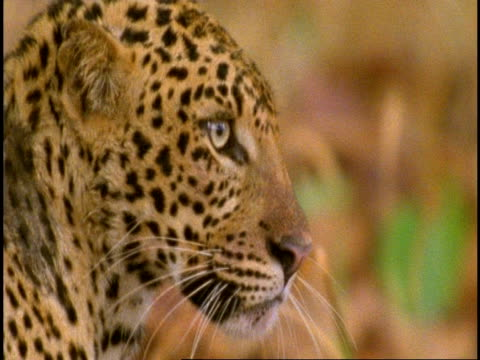 cu leopards (panthera pardus) head, staring, bandhavgarh national park, madhya pradesh, india - carnivora stock videos and b-roll footage