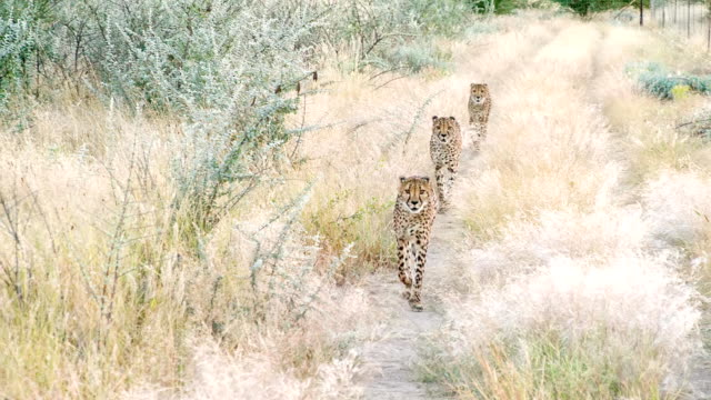 slo mo ls leopards running to the camera - cheetah stock videos and b-roll footage