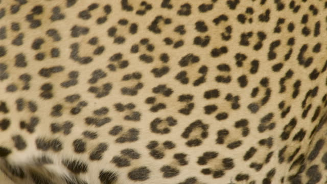 leopard's spots, sri lanka. - natural pattern stock videos & royalty-free footage