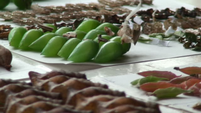 lepidoptera chrysalis on the table - farm to table stock videos & royalty-free footage