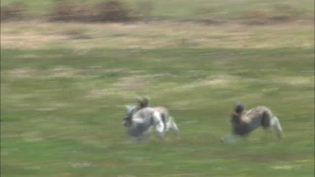 vidéos et rushes de lepus timidus ainu(mountain hare) in hokkaido - rongeur
