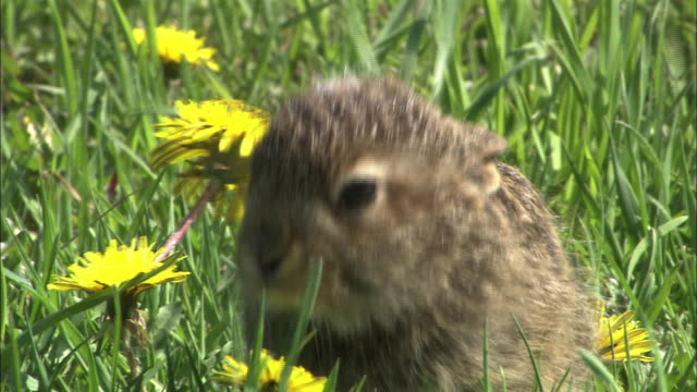 lepus timidus ainu(mountain hare) in hokkaido - young animal stock-videos und b-roll-filmmaterial