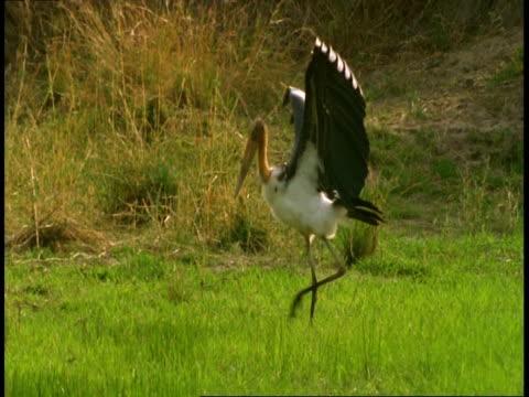 lesser adjutant (leptoptilos javanicus) stork using wings as shade whilst hunting, bandhavgarh national park, india - national icon stock videos & royalty-free footage