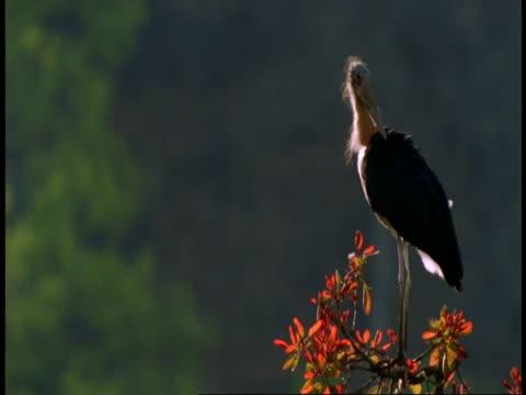 vidéos et rushes de ms lesser adjutants, leptoptilos javanicus, at top of tree, bandhavgarh national park, india - se lisser les plumes