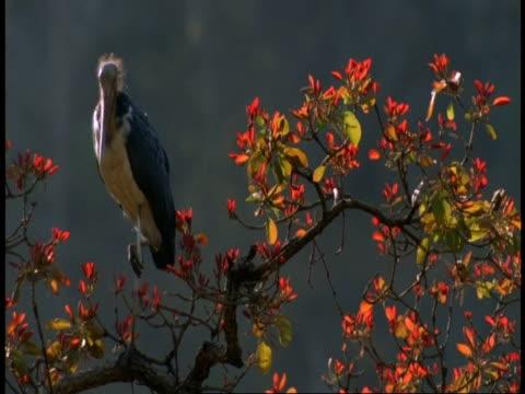ms lesser adjutants, leptoptilos javanicus, at top of tree, bandhavgarh national park, india - national icon stock videos & royalty-free footage