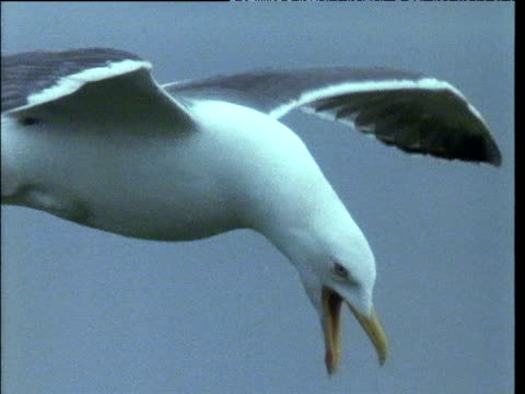 vidéos et rushes de lesser black-backed gull flies and calls, atlantic - mouette